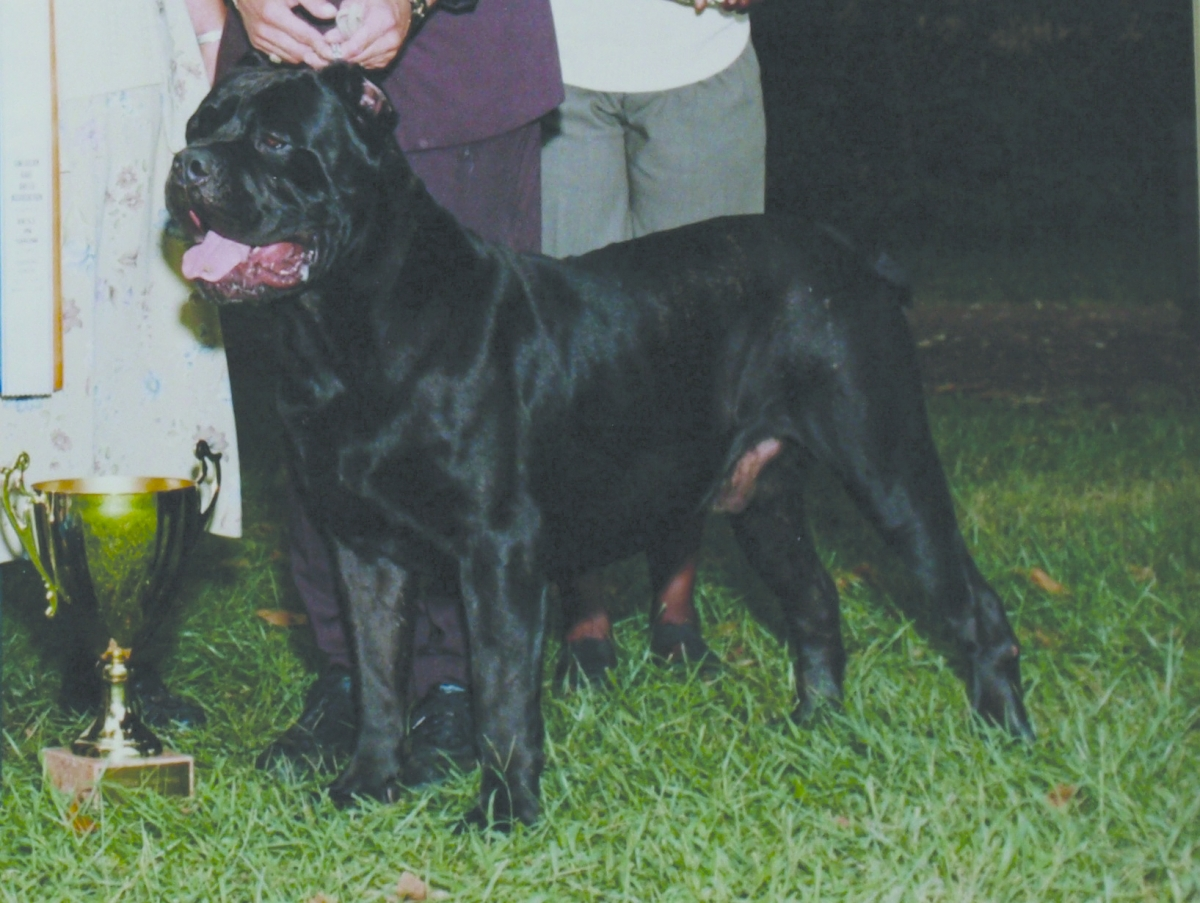 Spotlight on the cane corso modern molosser the best dog i owned was bel monte nero he was one in a million a true mastiff with a weight of 145 pounds ripped and with effortless movement geenschuldenfo Images