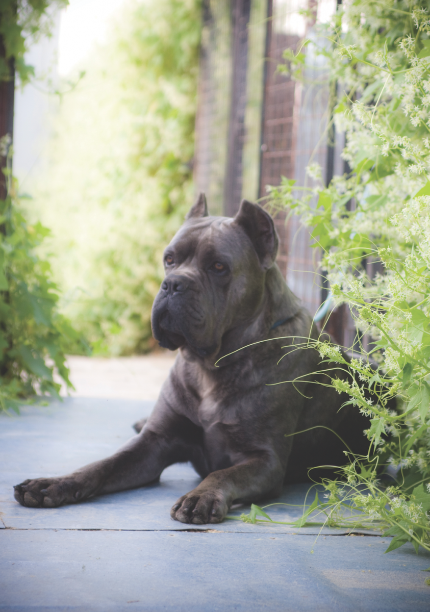Spotlight on the cane corso modern molosser many all rounders have a very vague idea of what constitutes a correct cane corso head and they judge by the faces of top handlers all this of course geenschuldenfo Images