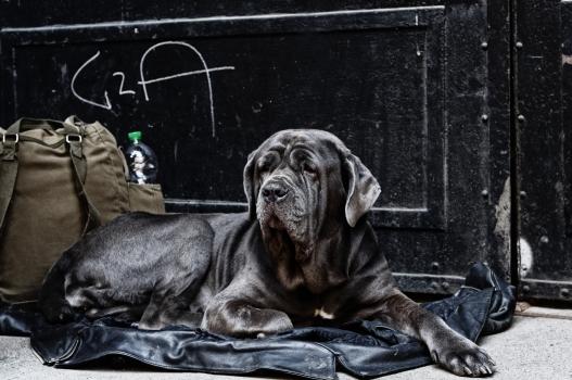 Neapolitan Mastiff