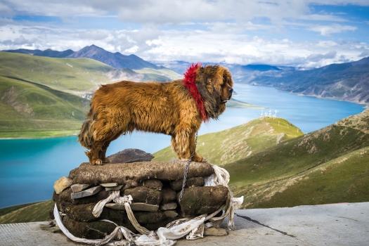 Tibetan mastiff posing on a pedestal beside Yamdrok Lake in Tibet, China