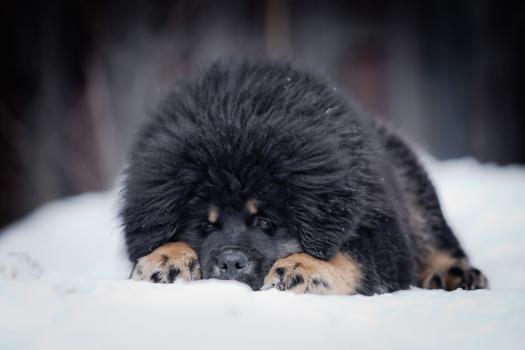 Tibetan Mastiff puppy in snow