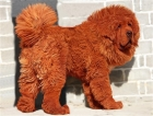 """Big Splash,"" a Tibetan Mastiff who sold for an astronomical sum"