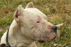 Morocho the Dogo Argentino saved two girls from a puma