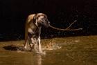 American Mastiff puppy
