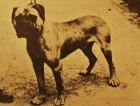 Early Bullmastiff Osmaston Turk