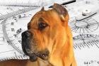 Cane Corso fanciers debate the breed's evolving silhouette