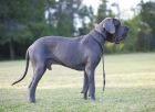 Dane or Mastino? At first glance, it's not quite clear