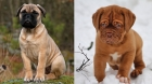 Bullmastiff and Dogue puppies — equally cute!
