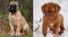 Bullmastiff and Dogue puppies — equally cute!