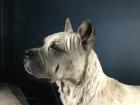 Dogue de Bordeaux at Tring