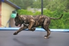 Cane Corso puppy frolicking