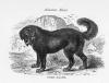 Tibetan Mastiff lithograph