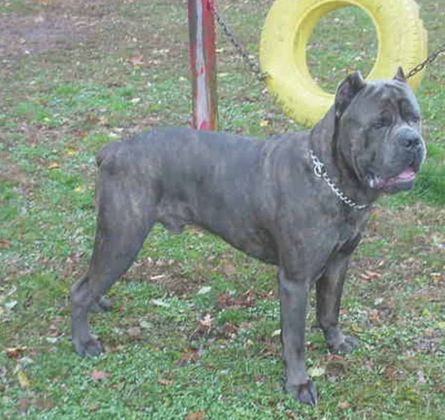 10 Things To Know Before Judging The Cane Corso Modern Molosser