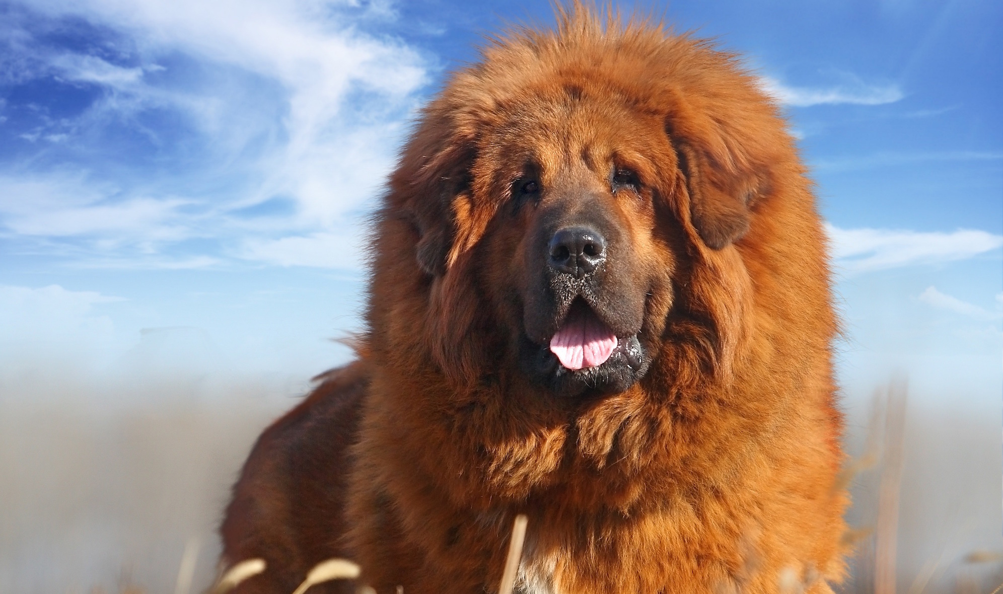 Slideshow-Tibetan-Mastiff