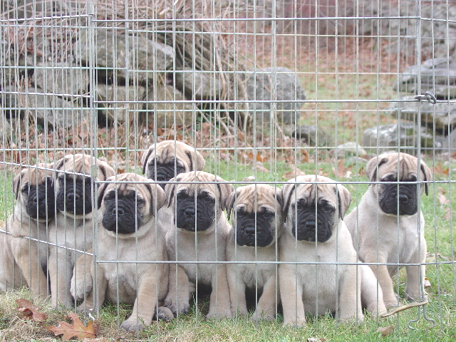 Bullmastiff Bruno Daisy Puppies