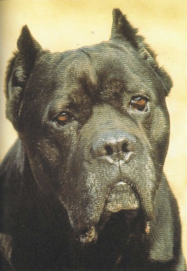 Basir, the prototypical Cane Corso.