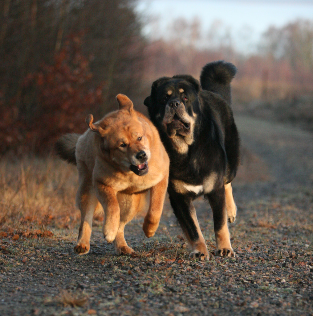 Tibetan Mastiffs running by Sanna Sander