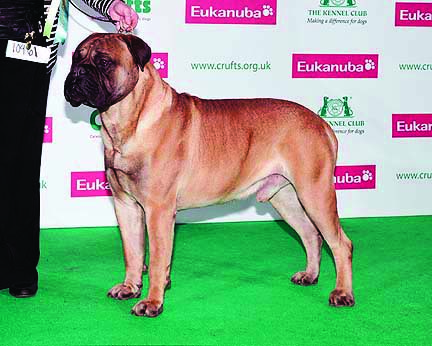 Bullmastiff Ardhub Shuda Been Black (Israeli Ch. Ardhub Here Comes Trubble x Ch. Back to Black) Owner: Lynn McGroaty Breeder-judge: William Brittle (Oldwell Bullmastiffs)