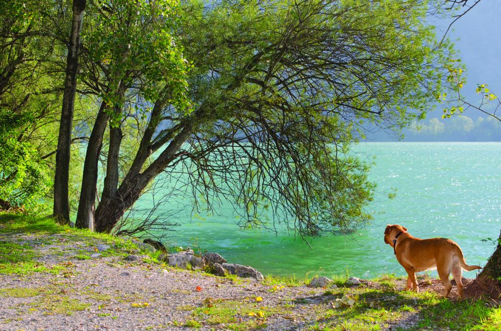 Dogue de bordeaux at the lake