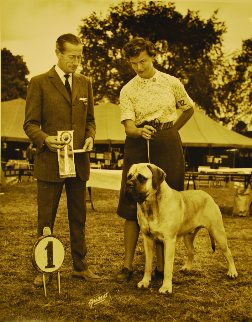 Damara Bolte was one of the few breeders who was able to obtain Mooreleigh stock. She bred her bitch Ch. Mooreleigh Joyce to Rhinehart to produce Ch. Reveille Defender, shown here going Winners Dog at the 1965 MCOA National specialty under British judge Stanley Dangerfield. Photo: Gilbert