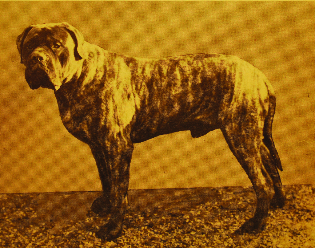 Ch. Falcon of Blackrock in 1965. Though Moore favored his fawn brother Rhinehart, Falcon was considered the better dog, and better producer.