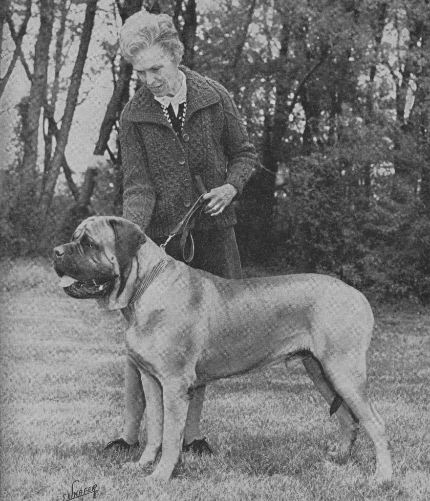 "Moore's homebred apricot Mooreleigh Quentin (Mooreleigh Ivan x Mooreleigh Katrina) was Best of Winners at the 1968 national. His daughter Gynlfyn Gingerbell won the puppy class. ""Quality is our sincere objective,"" said Moore in one of his ads. Quentin was Moore's last champion."