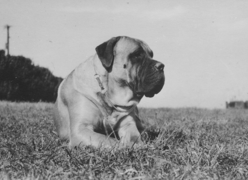 Moore's first Mastiff, Peach Farm Michael, acquired in 1952 from Patty Brill of Peach Farm in Newark, Delaware.