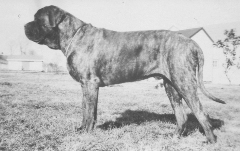 "Two-year-old Mooreleigh Munchausen, ""son of the only champion bitch in America"" at the time, Ch. Meps Berenice. Photo courtesy Virginia Bregman"