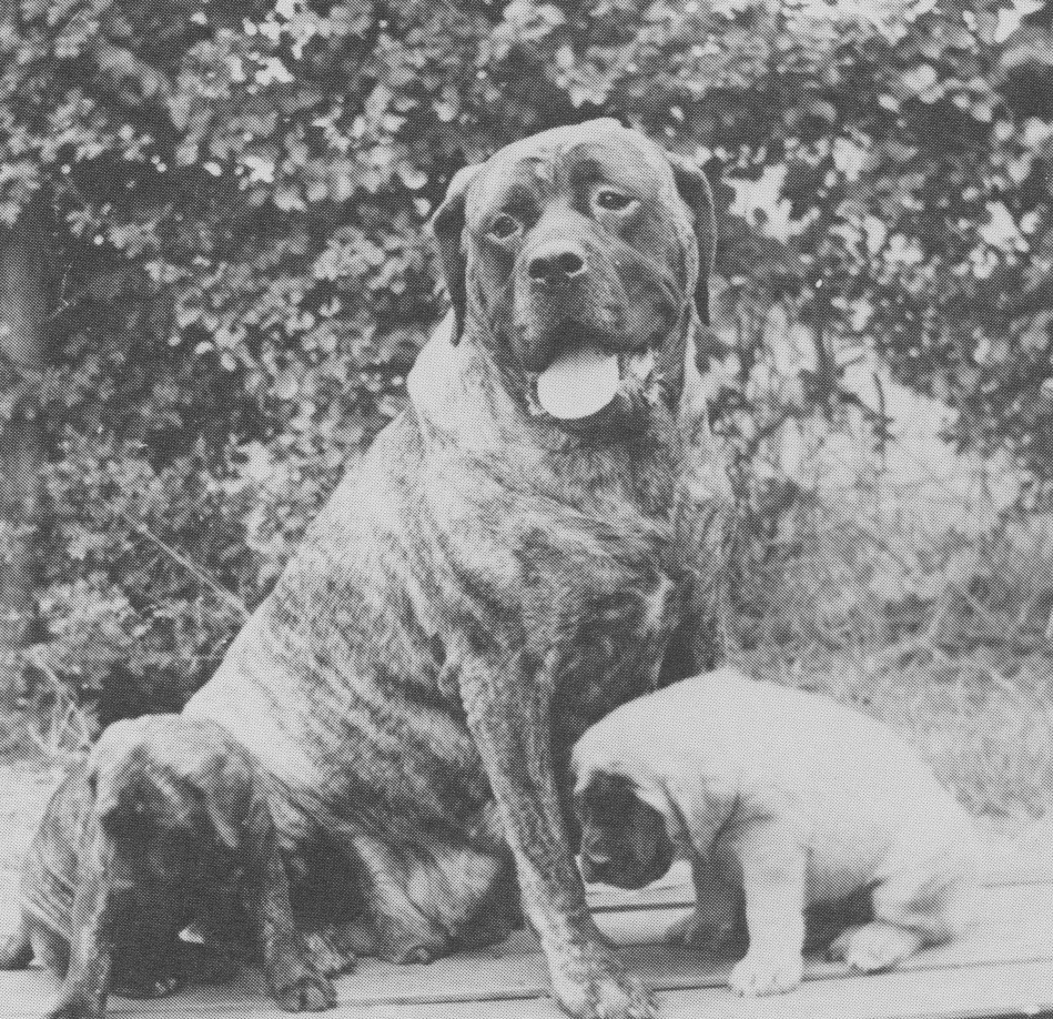 Gipsy of Havengore, dam of Moore's two best-known males, Rhinehart and his brindle brother Falcon of Blackroc.
