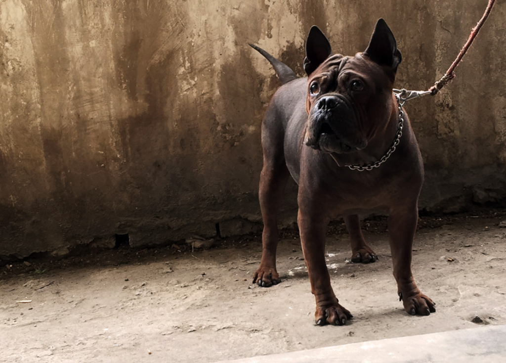 Primitive and otherworldly, the Chongqing Dog has a magnetic appeal that is difficult to describe.