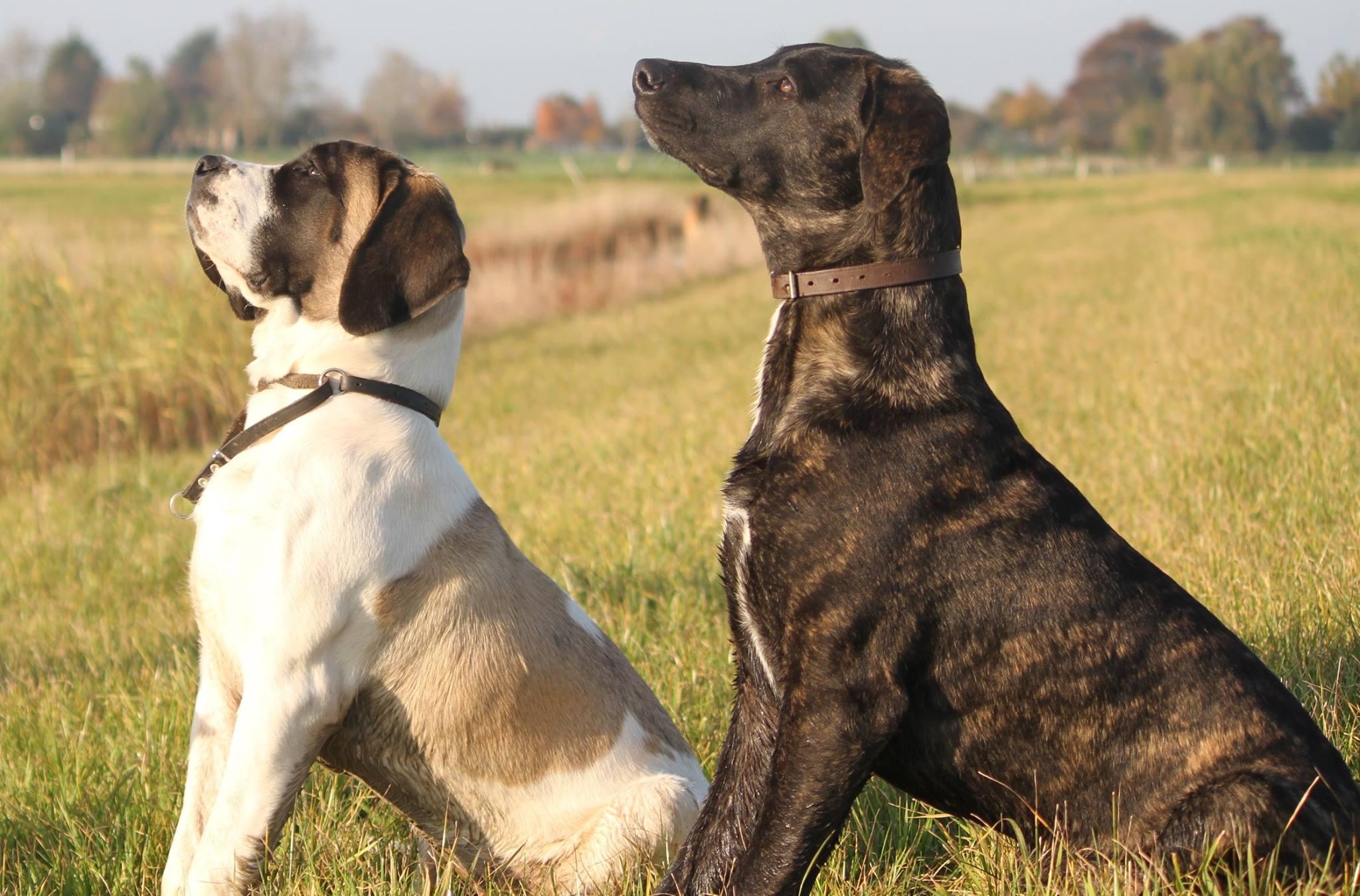 greyhound mastiff mix