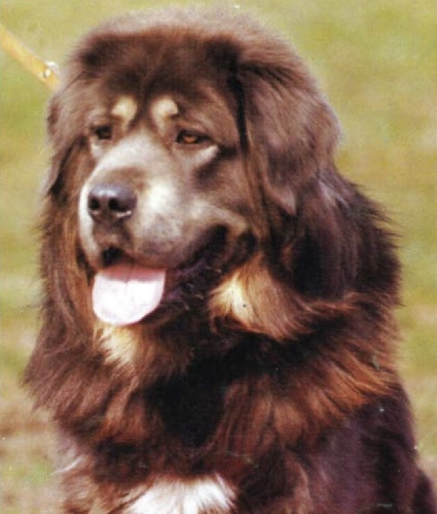 Tü-Bo, arguably the finest Tibetan Mastiff imported into Europe during the breed's modern reintroduction there, from the cover of the January 1985 Molosser Magazin.