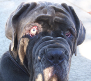 Tacking and multiple surgeries for cherry eye can leave a Neapolitan Mastiff permanently disfigured.
