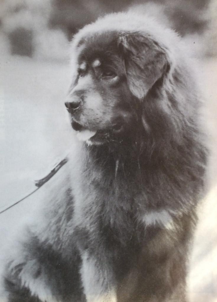Tibetan Mastiff Tu-Bo
