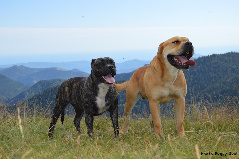 Astillas Del Molosse (also pictured at start of story) and Jagger Cadeous Des Hautes Fagnes from the author's Mallorca Crew kennel in France. Both photos: Doggy Soul