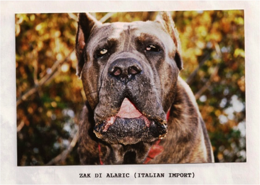 """Zak,"" the Sottiles' 170-pound Puglian import. This dog's blood still runs through the veins of many of Sottile Jr.'s current hog dogs. Photo: M. Sottile"