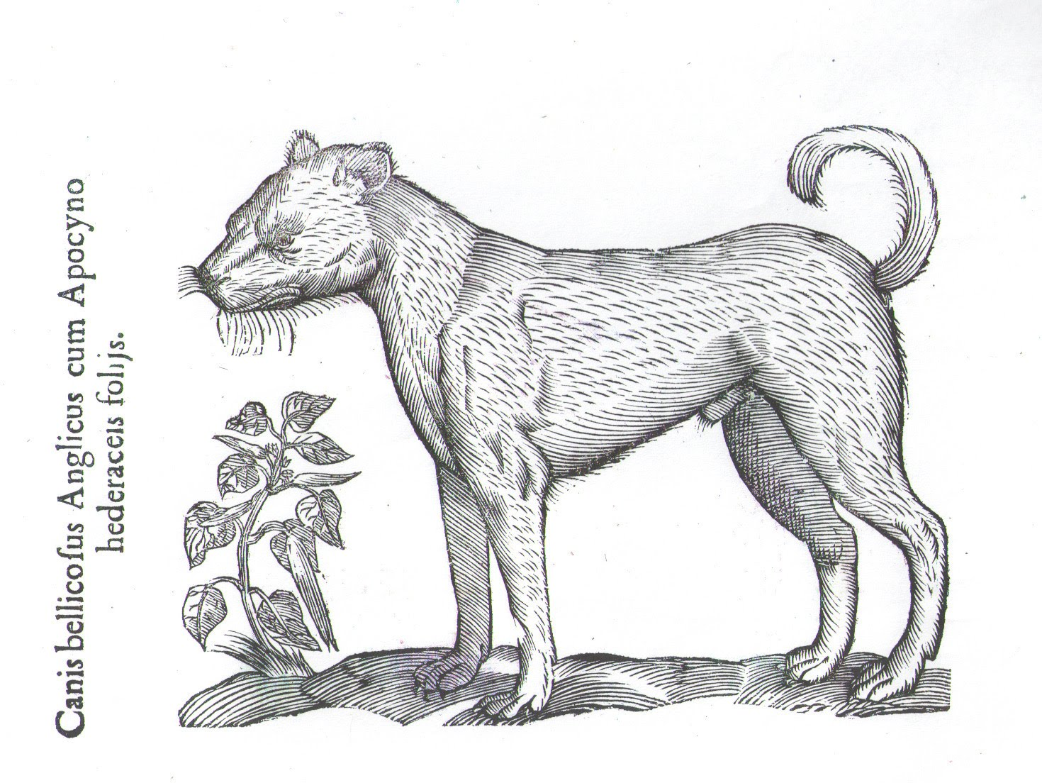 """Canis bellicosus Anglicus – literally translated, """"English war dog,"""" or mastiff, sketched by Aldrovandus (1522-1605)."""