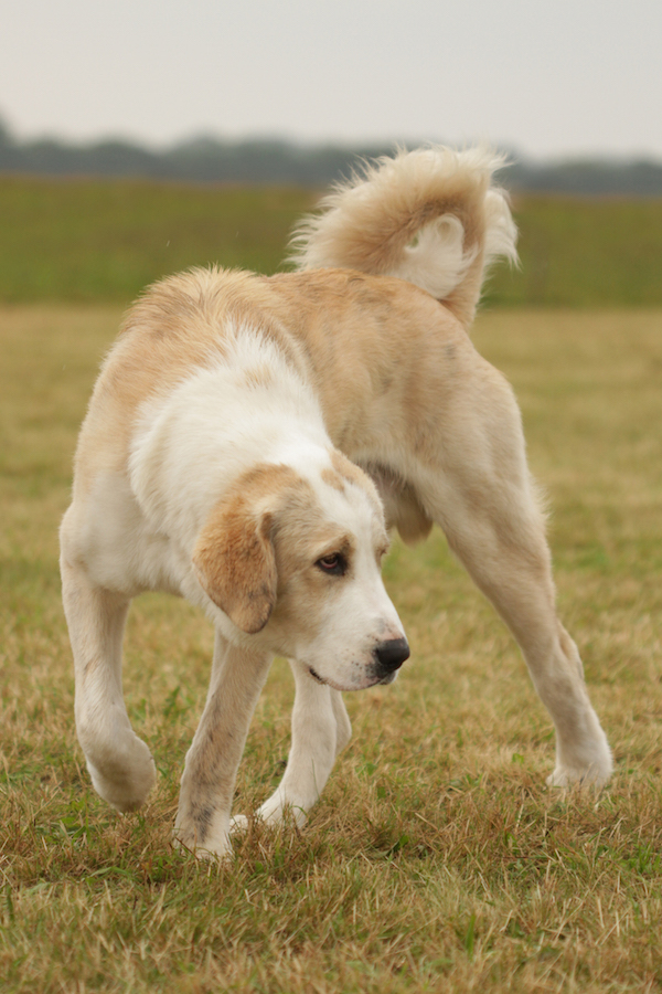"""The Central Asian Ovtcharka is another favorite breed of mine. I am quite partial to all the large livestock guardians. And I like how this young puppy male (no more than six or seven months) already shows that special attitude the breed has: """"Do not mess with me!"""""""
