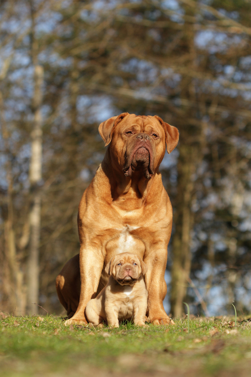 """When Veronica Tofte, one of my closest friends (once again we met because of our Molossers) had her first Dogue de Bordeaux litter, I went at least once a week to see and photograph the little ones. Their """"uncle"""" Bulten (same boy that's flying in one of the other photos) really loved the puppies, and we decided to try to take one of him and the male Veronica was keeping. Photos like these are near impossible without an assistant, and Veronica's been with me on several shoots, so we made it happen with a bit of time and patience."""