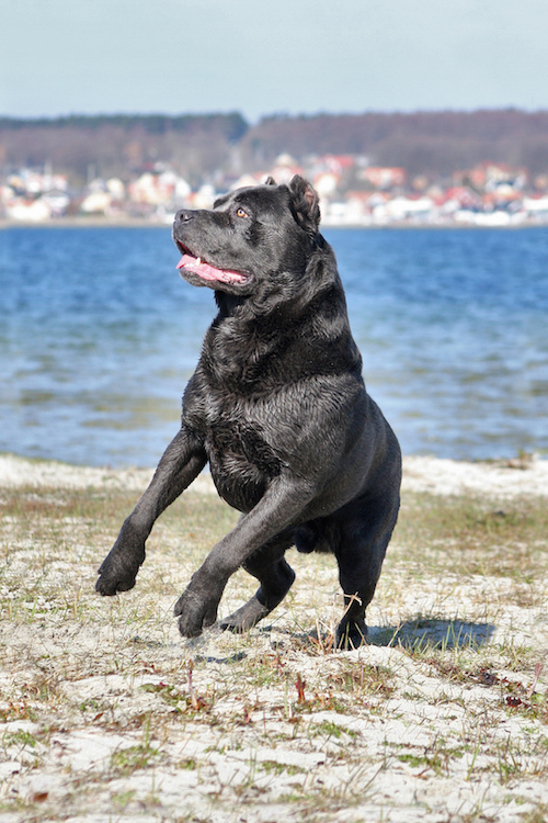 During a couple of summers some years ago, I had the pleasure of getting to know the Cane Corso up close. I had several in my boarding kennel and learned that they are really friendly, loving and energetic friends. Those summers I took a lot of photos of these stunning and athletic Molossers. Taco, the boy in this photo, was my absolute favorite of the bunch.