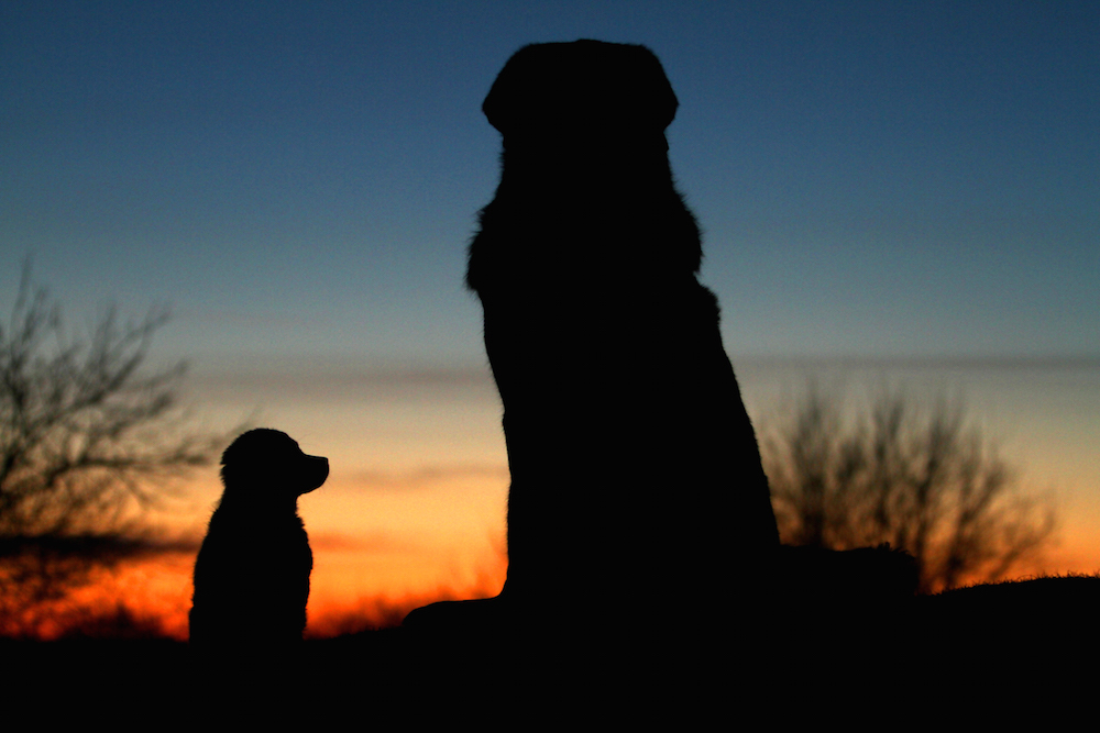 A photo of my mutt Chibi as a puppy, asking my first Tibetan Mastiff Zodd about the big, wide world. The photo was taken on a hill during sunset in the middle of winter. And it was the only shot out of countless ones where Chibi actually was sitting down. He was (and still is) a very energetic boy, always up to something!