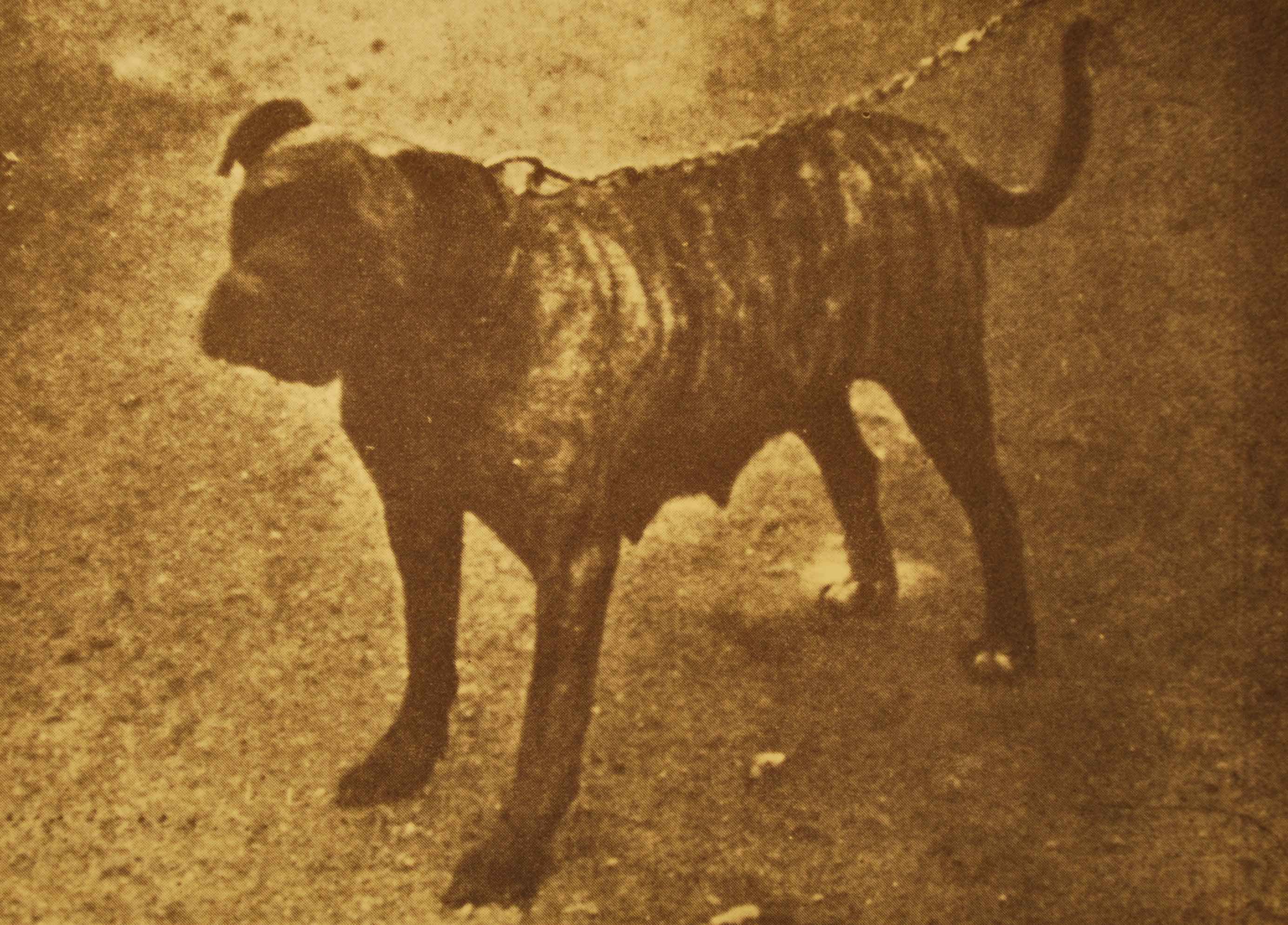 Mr. Biggs' Osmaston Daisy. Weight 95 lbs.