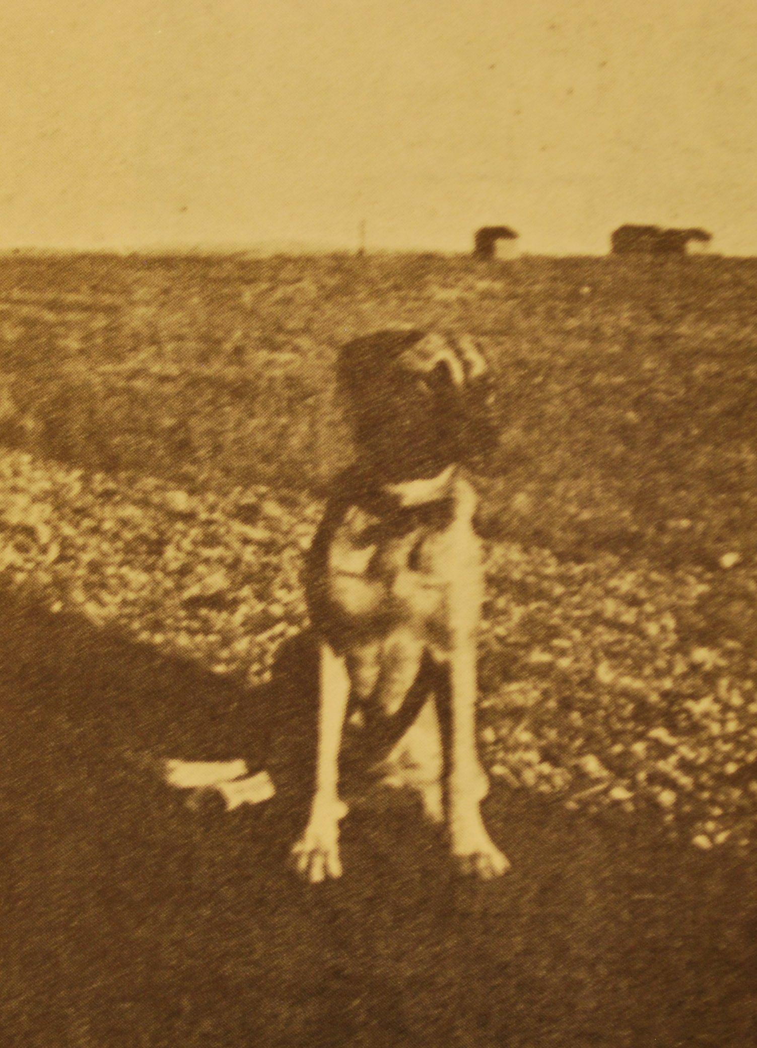 Count Vivian Hollander's Bull-Mastiff pup, Nada the Fearless.