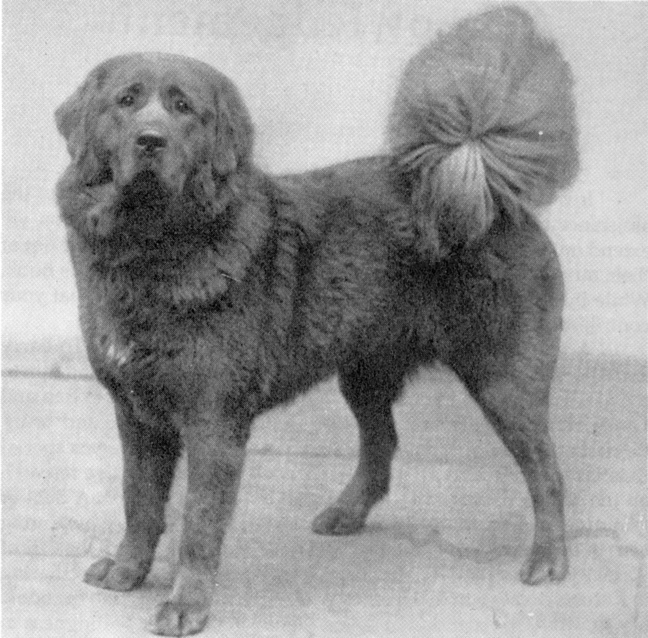 "British-bred Tonya, 1920s. Rohrer said this photo became her ideal of the ""true Tibetan Mastiff."""