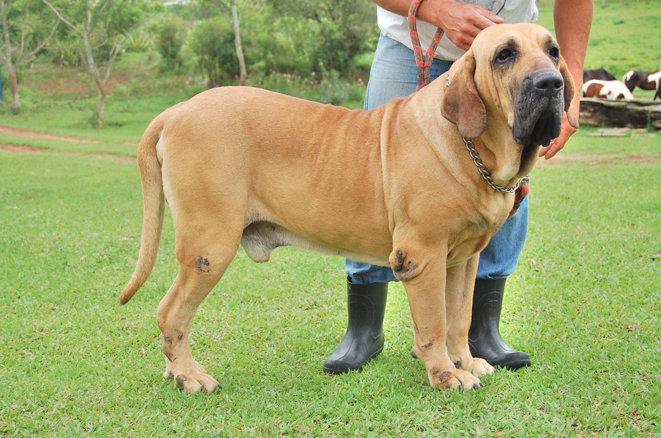 Pacara do Itanhandu, another Fila that the author considers a fine example of breed type.