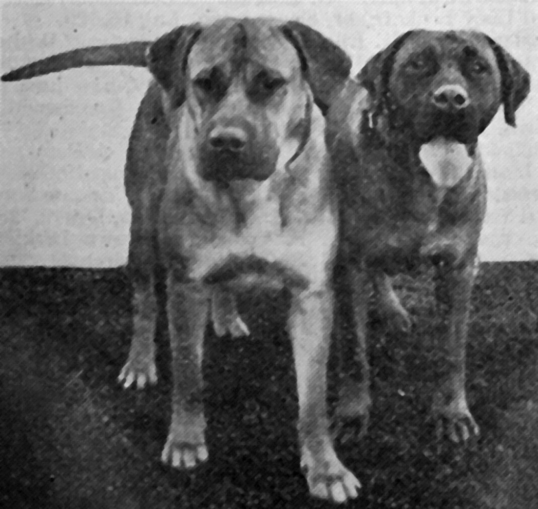 An advertisement for Ranald Kennels in a 1930 Kennel Gazette (right), and a photo of dogs from the same kennel a year earlier (above). As is evident, type was still a moving target in the breed at this stage.