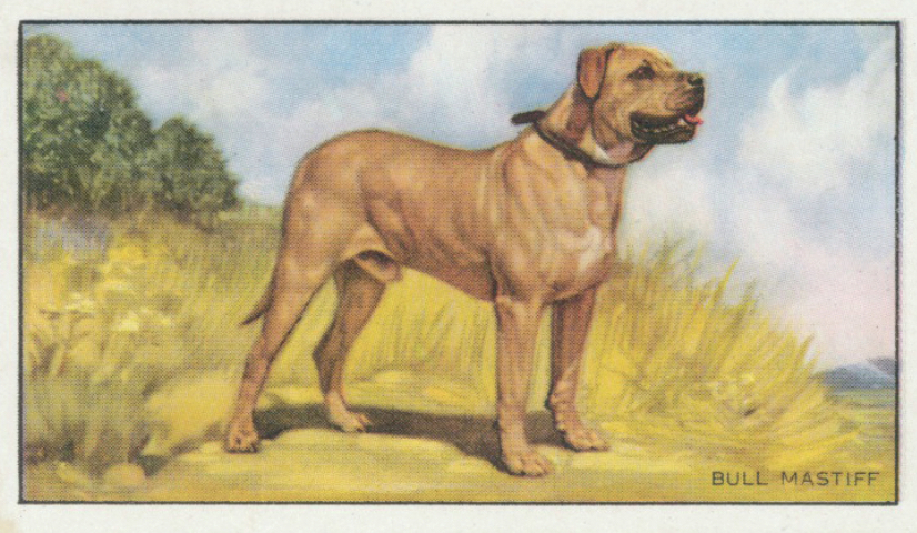 Because they were working and not show dogs, no photographs exist of the Rockefeller Bullmastiffs from the 1930s and '40s. But these illustrations, from cigarette cards and other popular ephemera of the day, depict the varied appearance of a breed that was still in a formative stage of setting type.