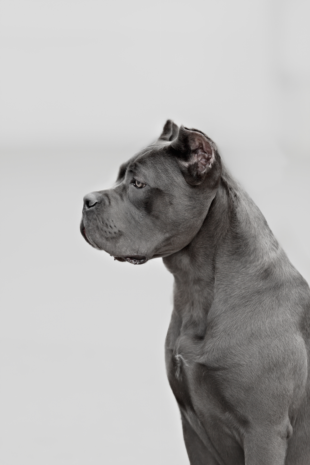 The Cane Corso should be a nobile breed, and a relatively short coat lends to that air of regalness.