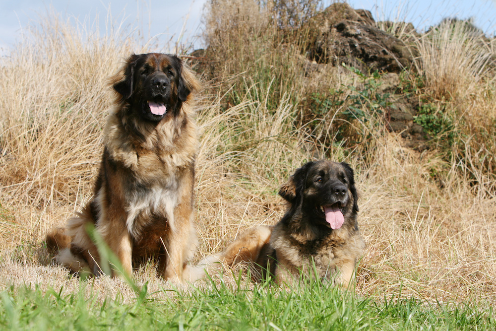 Fluffy Mastiffs are often confused with Leonbergers, another large breed derived from the Mastiff. But on closer inspection, the Leonberger has a more refined head.