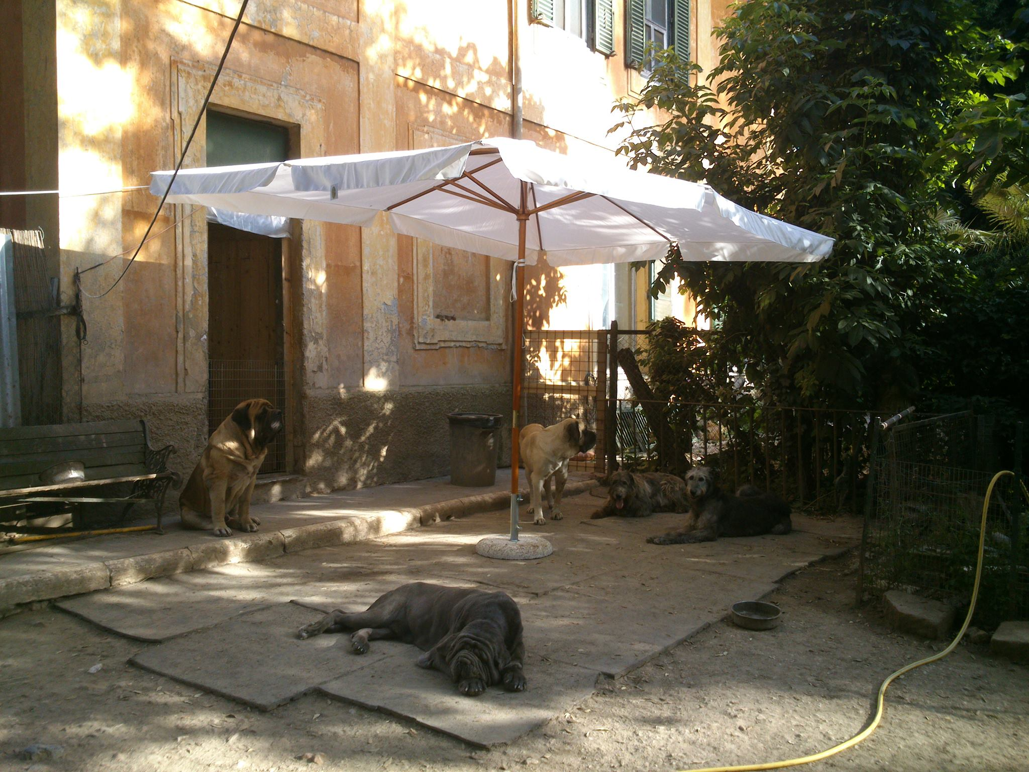 """Two Italian, two Irish, one English,"" read the post accompanying this photo on the Bengasche Facebook page. Can you identify the three giant breeds lolling in the shade at Villa Savoia?"